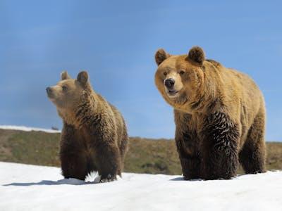 Arosa Bären 3